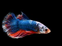 Beautiful dark blue Thai fighting fish swimming with long fins. And red white colorful long tail gene. fighting fish isolated on black background stock photos