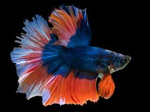 Beautiful dark blue Thai fighting fish swimming with long fins. And red white colorful long tail gene. fighting fish isolated on black background royalty free stock photos
