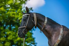 Beautiful dark brown akhal teke horse with decorated silver show halter. On standing in a pasture, in profile portrait, sunny spring day at a ranch, green tree royalty free stock photography