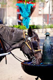 Beautiful dark brown horse with blue feather hat drinking from fountain in downtown Chicago. Stock Photography