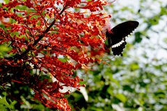 Beautiful dark butterfly , Indonesia, Bali, Butterfly park Royalty Free Stock Photos