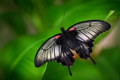 Beautiful dark butterfly, Papilio rumanzovia, Scarlet Mormon or Red Mormon, of the Papilionidae family. It is found in the Philipp Royalty Free Stock Photo