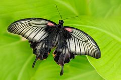 Beautiful dark butterfly, Papilio rumanzovia, Scarlet Mormon or Red Mormon, of the Papilionidae family. Beautiful butterfly. Sitting on the green leave in the royalty free stock images