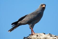 Beautiful dark chanting goshawk male sit on perch looking Royalty Free Stock Photos