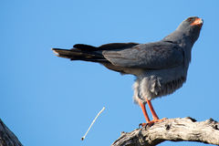 Beautiful dark chanting goshawk male sit on perch looking Stock Images