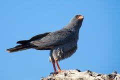Beautiful dark chanting goshawk male sit on perch looking Stock Photo