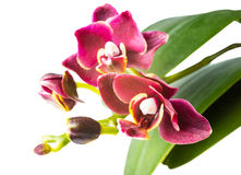 Beautiful dark-cherry  mini orchid is  isolated on the white Royalty Free Stock Image
