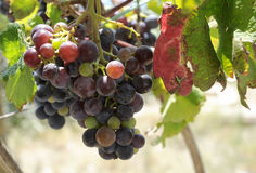 Beautiful dark grapes on vine. Stock Photography