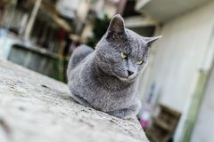 Beautiful Dark Gray Street Cat Portrait stock image