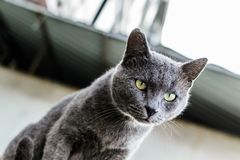 Beautiful Dark Gray Street Cat Portrait stock photo