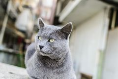 Beautiful Dark Gray Street Cat Portrait royalty free stock images