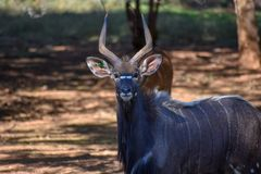 A Nyala bull standing with some ewes stock photos
