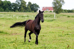 Beautiful dark horse running free at the pasture Royalty Free Stock Images