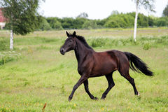 Beautiful dark horse running free at the pasture Stock Photos