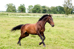 Beautiful dark horse running free at the pasture Stock Images