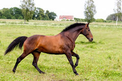 Beautiful dark horse running free at the pasture Royalty Free Stock Image