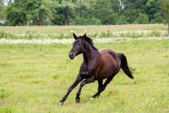 Beautiful dark horse running free at the pasture Royalty Free Stock Photography