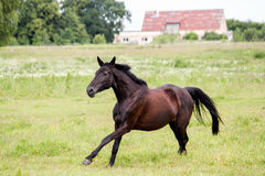 Beautiful dark horse running free at the pasture Royalty Free Stock Photo