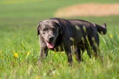 A beautiful dark Labrador Retriever plays outside royalty free stock photo