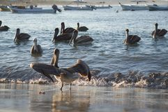 Beautiful, dark pelicans in the water at sunset royalty free stock photo