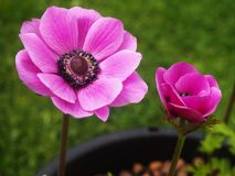 Anemone De Caen flower and bud. Beautiful dark pink Anemone de Caen flower and bud growing in a pot in a garden stock photography
