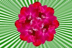 Beautiful dark pink orchid Royalty Free Stock Photography