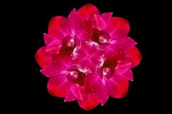 Beautiful dark pink orchid Stock Images
