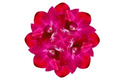 Beautiful dark pink orchid Stock Image
