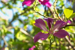Beautiful dark pink tree flowers blooming under the blue sky in a lush garden Thai park. Beautiful dark pink tree flowers blooming under the blue sky in a lush Stock Images