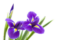 Beautiful dark purple iris flower Royalty Free Stock Images