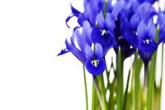 Dark purple iris flower Stock Photos