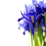 Dark purple iris flower Royalty Free Stock Images