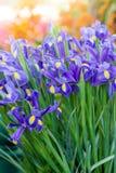 Beautiful dark purple iris flowers Stock Photo