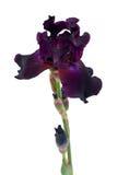 Beautiful dark purple iris isolated on white Royalty Free Stock Photography