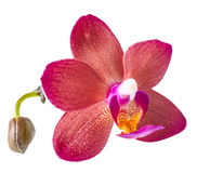 Beautiful dark red with bud orchid, phalaenopsis is isolated Stock Photos