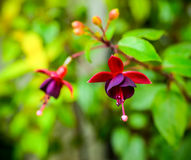 Beautiful dark red fuchsia flower on the nature green backgroud, Stock Images