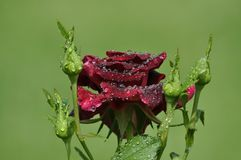 Beautiful dark red rose with fresh dew drops and buds royalty free stock images