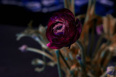 Beautiful dark red rose Royalty Free Stock Photos
