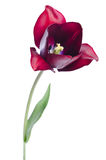 Beautiful dark red tulip Royalty Free Stock Photography