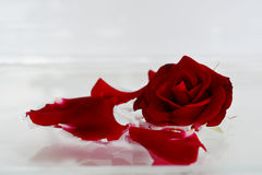 Beautiful dark red velvet rose and scattered petals. Beautiful dark red velvet rose and scattered petals on an abstract white background with soft focus Stock Photography
