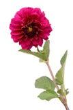 Beautiful dark rosy dahlia Royalty Free Stock Photos