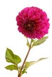 Beautiful dark rosy dahlia Royalty Free Stock Photography