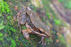 Beautiful Dark-sided Frog in forest Stock Photo