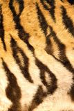 Beautiful dark stripes on tiger furr Royalty Free Stock Photos
