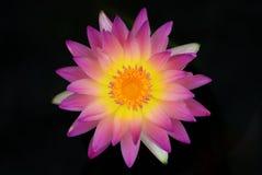 Beautiful on dark Royalty Free Stock Photos