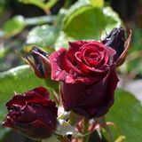 Velvet red rose with water drops of dew stock image