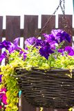 Beautiful, dark violet petunia in the hanging basket. Close up royalty free stock photography
