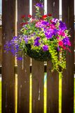 Beautiful, dark violet petunia in the hanging basket. On wooden fence stock image