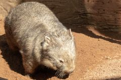 Australian Wombat royalty free stock photos