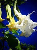 Beautiful Datura Blooms Against a Blue Sky. Brugmansia Candida, also known as Angel`s Trumpet is a toxic plant with beautiful blooms that hang like a pendant stock photos